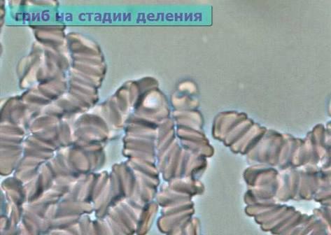 Деление грибов под микроскопом